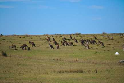 Kangaroo Herd on Maria Island